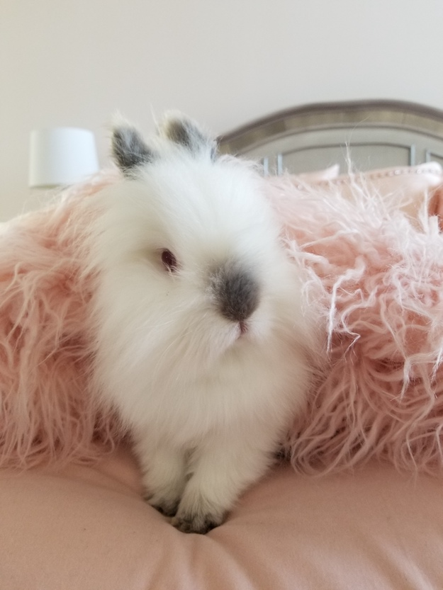 lionhead rabbit bunny on bed