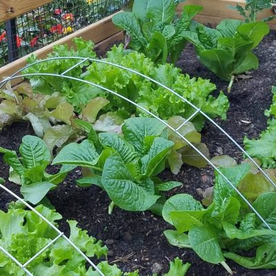 Fall/Winter Lettuce Crops, Garden Hoops, and Frost Quilts