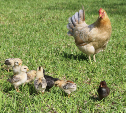 Wild, Feral Chickens in Bermuda? Yes!