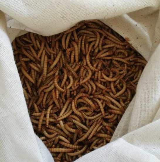 Live Rainbow Meal Worms for Chickens