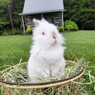 dwarf lion head bunny rabbit -feature